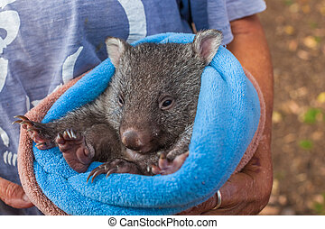 Baby sweet Wombat - Closeup of a park attendant in her arms...