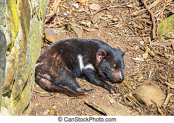 Tasmanian Devil lying - Tasmanian devil lying in Tasmanian...