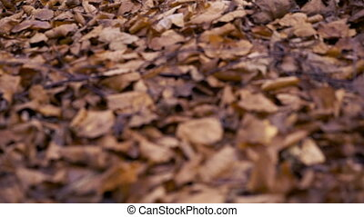 Yellowing old leaves in the forest - macro photo of a fallen...