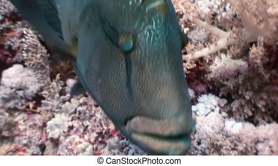 Napoleon Fish on Coral Reef in ocean sea close up Giant...