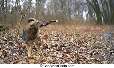 Very old dog playing with a stick.Slowed - Very old dog...