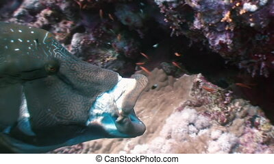 Napoleon Fish on Coral Reef in ocean sea close up - Giant...