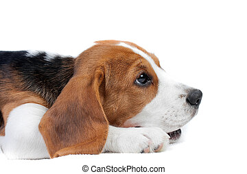 Beagle puppy lying - Cute small dog lying on the floor....