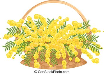 Wicker basket with flowers mimosa. Isolated on white vector...
