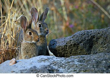 Two hares or rabbits : peering curiously from the pile of...