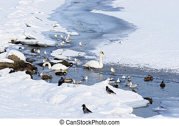Swans and Ducks in Langelinie Pond in winter Copenhagen -...