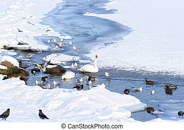 Swans and Ducks in Langelinie Park Pond in winter Copenhagen...