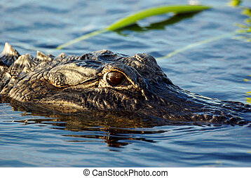 Gator - Alligator in the everglades river, Florida, USA