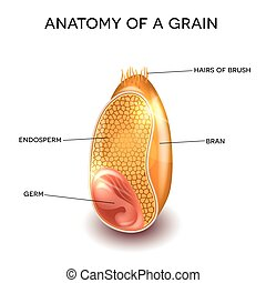 Grain anatomy. Cross section of a grain. Endosperm, germ,...