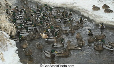 Feeding ducks and drakes in red creek in winter - Feeding...