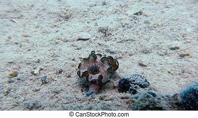 Macro Color Nudibranch Mollusc True Sea Slug Close up...