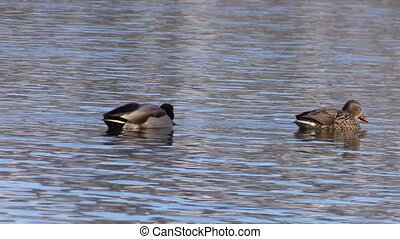 Mallard Hen and Drake - drake and hen mallard on a lake