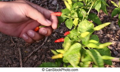 Chili peppers Being Harvested - close up Chili Peppers Being...
