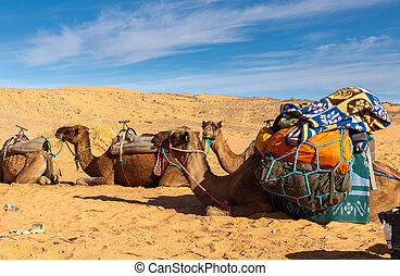 Camels with a load in the desert - Camels are loaded in the...