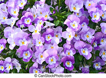 Bedflower of pink violas - Bunch of pink and white violas...