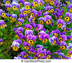 Bedflower of purple and yellow violas - Bunch of violas of...