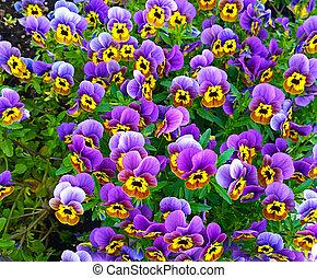 Bedflower of purple and yellow violas - Bunch of violas of...