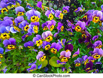 Bedflower of beautiful violas - Bunch of violas of striking...
