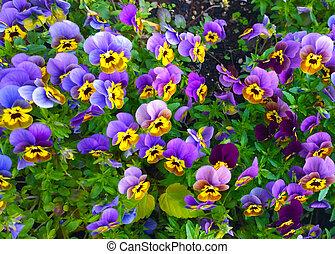 Bedflower of beautiful violas - Bunch of violas of striking...