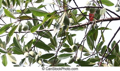 olives on a branch, elaeocarpus hygrophilus, dolly shot