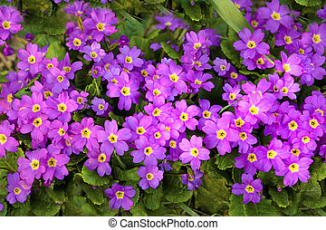 Primrose. - Decorative perennial garden flower primrose...