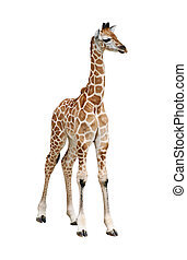 Giraffe calf cutout - Giraffe calf isolated on white...