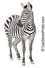 Zebra pregnant cutout - Zebra pregnant two days before foal...