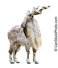Markhor male (Capra falconeri) cutout - Markhor male (Capra...