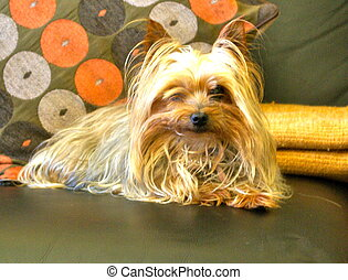 Yorkshire Terrier - Comfortable on my coach