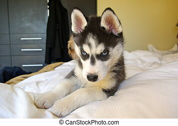 Husky pup - Husky taking a nap on bed