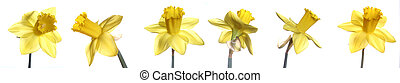Daffodils - Different shots of daffodils on white background