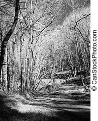 Infrared forest - True black and white infrared picture of a...