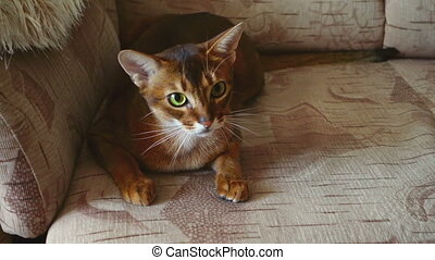 Abyssinian cat playing with ball on the sofa, slow motion