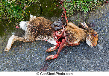 Road killed rabbit - Photo of a road killed rabbit lying on...