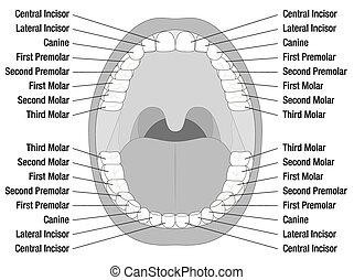 Teeth Names - Teeth names of permanent teeth. Isolated...