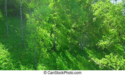 Mixed forest on a mountain slope - Mixed forest on the...