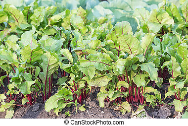 Agricultural field with growing sugar beet