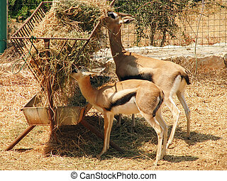 Antelopes at the feeding trough in the zoo