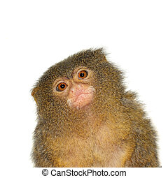 The pygmy marmoset, cebuella pygmaea, on white - The pygmy...