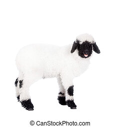 Valais lamb On White - Funny Valais lamb Isolated On White...