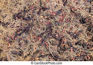 Close up view of a bunch of carob fruits on the ground