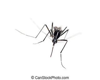 Tiger mosquito, Aedes albopictus - Tiger mosquito, Aedes...