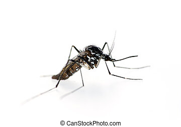 Tiger mosquito, Aedes albopictus Can be vector for Zika...