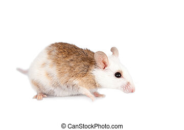 Natal multimammate mouse, mastomys natalensis, on white -...