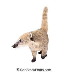 South American coati, Nasua nasua, baby on white - South...