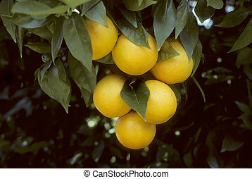 Oranges hanging from a tree