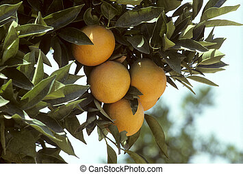 Florida oranges hanging from a tree