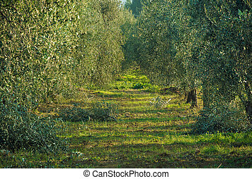Olive tree garden in Tuskany, Italy. Natural agricultural...