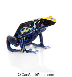 Robertus dyeing poison dart frog, Dendrobates tinctorius, on...