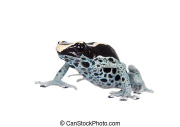 Awarape Dyeing Poison dart frog, Dendrobates tinctorius, on...